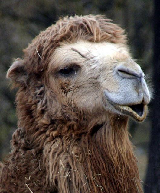 einfältiges Kamel (April 2006)