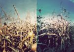deutsches getreide und polnischer mais (oder andersrum)